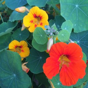 Welsh Nasturtiums